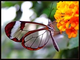 Kupu-kupu bunga